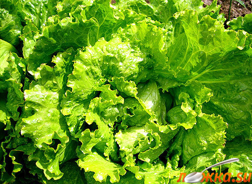 Зелений салат фото